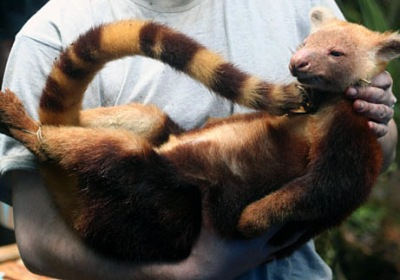 golden-mantled tree kangaroo