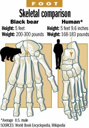 Bear Human Comparison