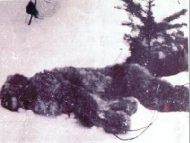 Dead Bigfoot Photo 1894