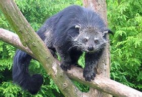 Binturong (in Captivity)