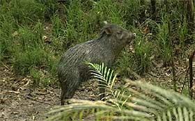Giant Peccary