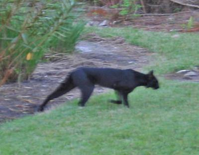 Is this cryptid black cat a melanistic bobcat ( Lynx rufus / Felis
