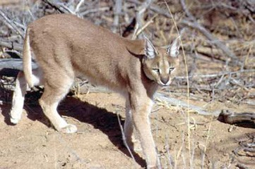 Caracal
