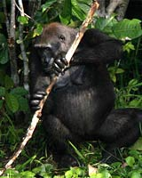 Gorilla With Stick