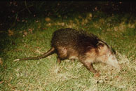 Cuban solenodon