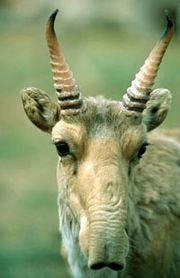 180px-saiga.jpg