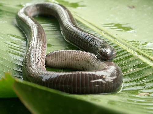 Caecilians Pictures