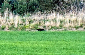 Big Black Cat Caught on Camera in UK
