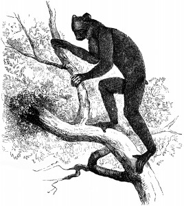 Black indri, SG Goodrich, The Animal Kingdom Illustrated, AJ Johnson & Co, NY, 1885, p119