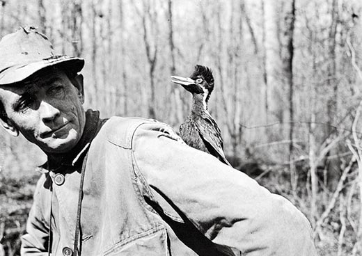 James T. Tanner ivory billed woodpecker