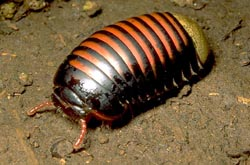 giant pill millipede