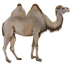 camels bactrian