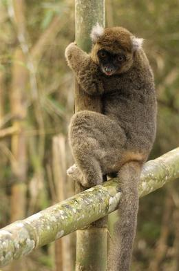 bamboo_lemur_cibody.JPG