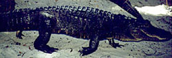 highwalkgator1