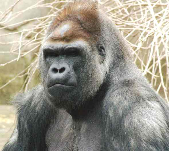 Oh, hey. My name's Chuck. Gorilla_western_lowland_stern_face