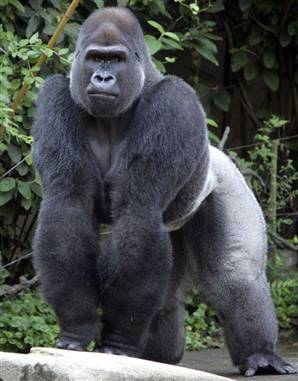 The other gorilla looked cooler ^_^
