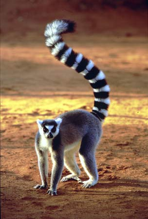 لمور دم حلقه ای : Ring Tailed Lemur