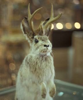 jackalope