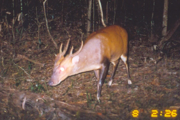large-antlered muntjac
