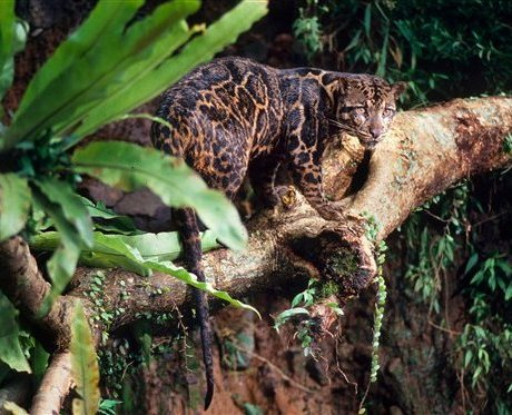 http://www.cryptomundo.com/wp-content/uploads/malaysia_clouded_leopard.jpg