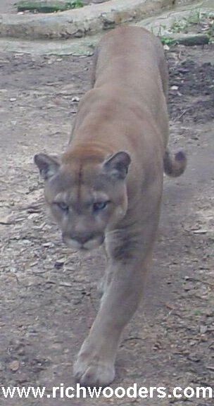Wisconsin Mountain Lion photo hoax