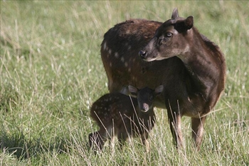 Visayan spotted deer with baby in forest