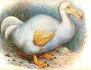 dodo1