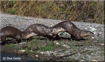 Don Getty River Otters Photo