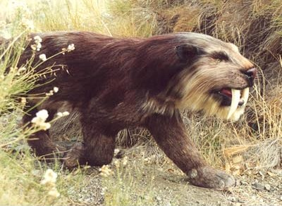 Saber Toothed Cat Smilodon