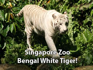 Singapore  Attack Pictures on Singapore Zoo White Tiger