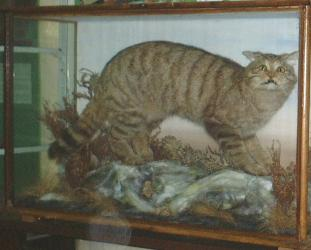 european cat taxidermy