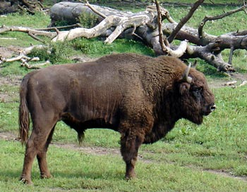 wisent